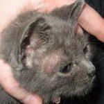 Telinga Kucing Jamuran